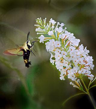 Moth01_1