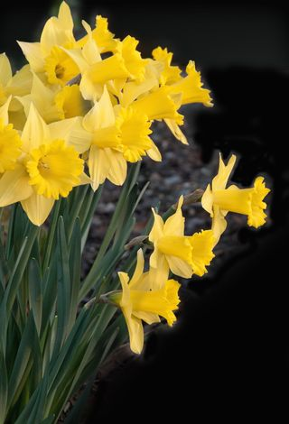 Daffodils_Sun_4028428