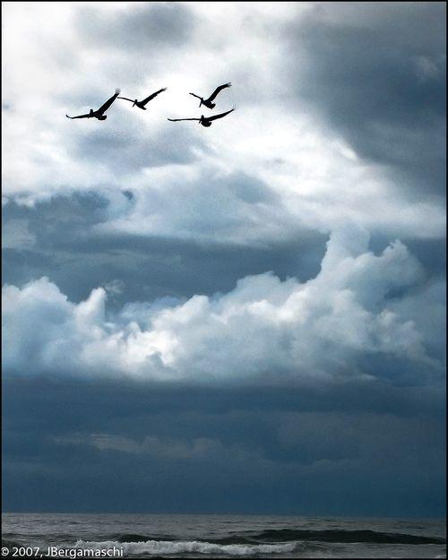 Pelicans_Watermark-1377