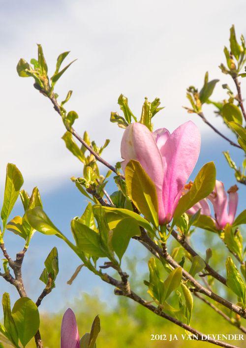 Tulip Magnolia_P4080809
