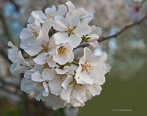 MoreBlossoms_4058479