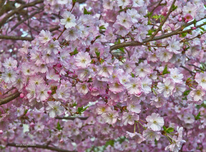 Blossoms_P4146276