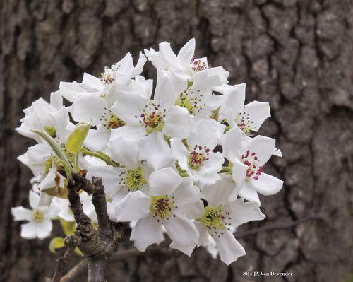 FloweringPear_P4206305