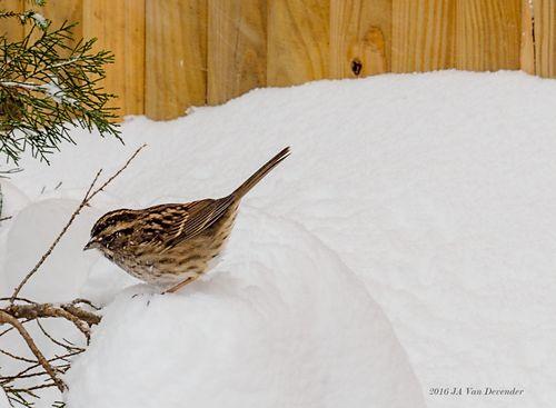 06_Snowmadeddon_Chickadee_P1230053
