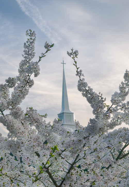 Steeple&Cherry Blossoms_4058463