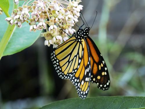 Monarch01_working_0P230013