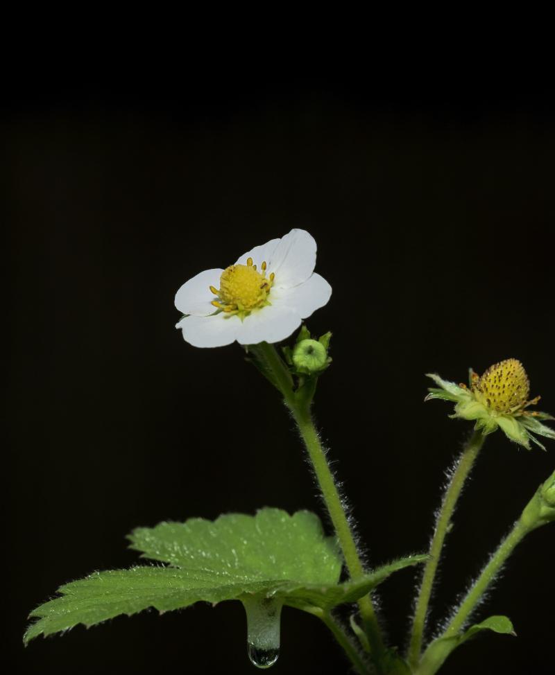 Strawberry_0P170026