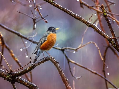 Robin Guard_P3240011