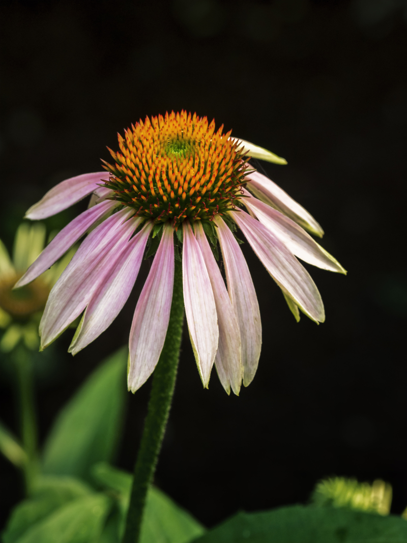 Coneflower2_art_0P260014