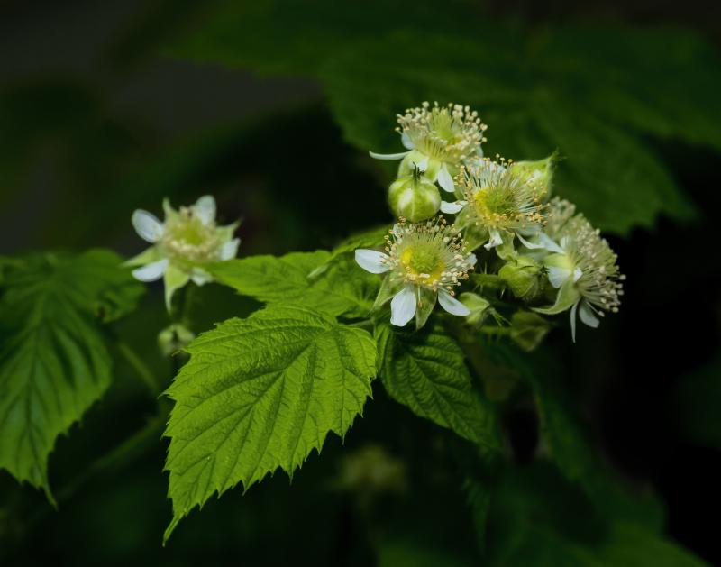 Rasberry Blossoms_0P170030