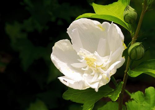 Rose of Sharon_P6120079